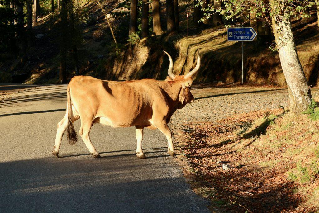 Cachena-Rind, Porta do Mezio